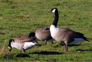 Downers Grove Geese