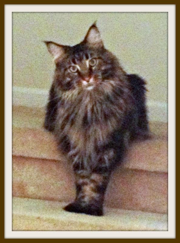 George Tallahassee cat Maine Coon
