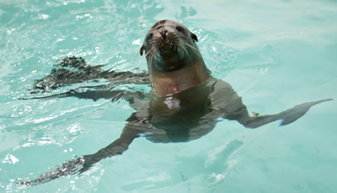 Shedd Aquarium sea lion pup rescue, Cruz