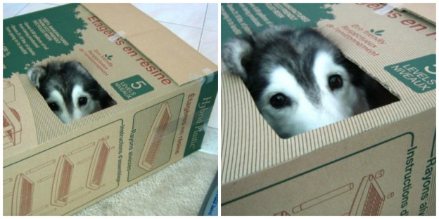 Dog in box thinks she's cat