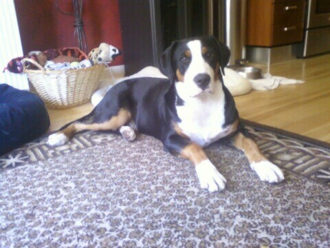 Dogs In Vogue Greater Swiss Mountain Dog The Out U Go Blog