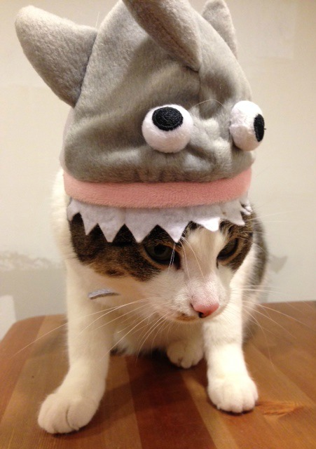 south-loop-cat-camilla-in-shark-halloween-costume