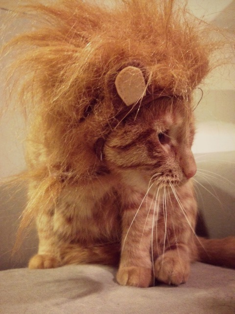 south-loop-cat-brock-as-lion-halloween-costume