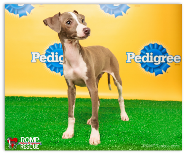 ROMP Rescue's Sharpie & Taser selected to participate in Animal Planet's Puppy Bowl X show