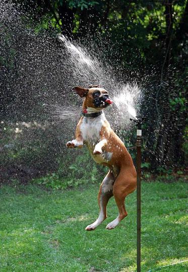 dogs-vs-sprinklers-2