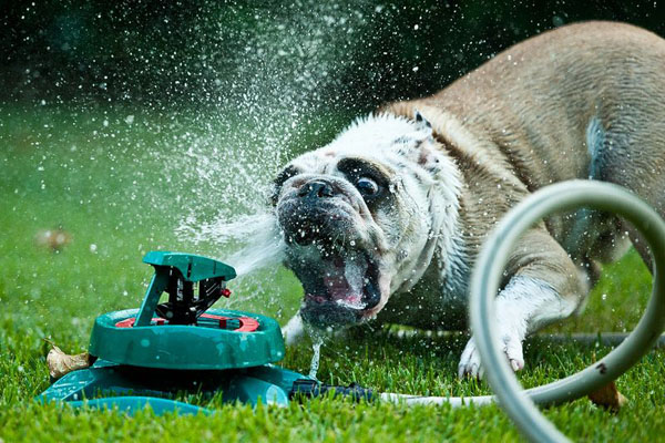 dogs-vs-sprinklers