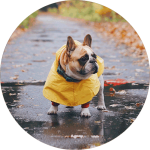 Cute bulldog in a raincoat. Raincoats are good options for dogs that don't like rainy day dog walks.